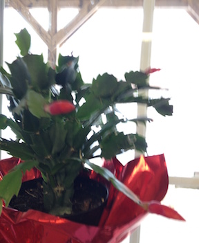February Christmas Cactus