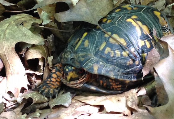 Box Turtle on Trail